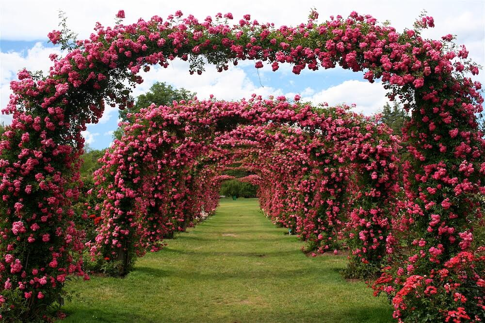 elizabeth-park-roses